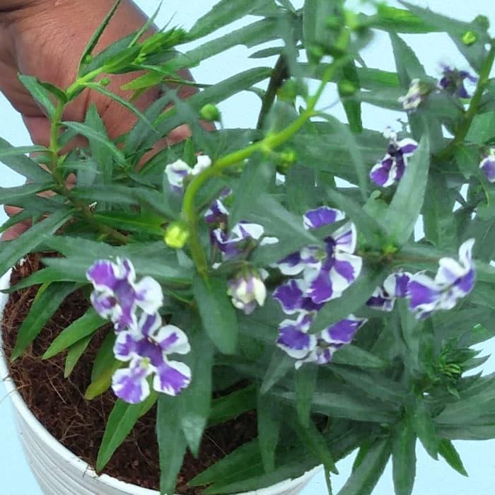 Tanaman hias Angelonia bunga ungu batik