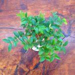 Tanaman hias KOKEDAMA Anggur brazil jaboticaba
