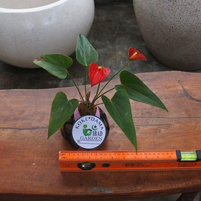 Tanaman hias KOKEDAMA Anthurium merah mini