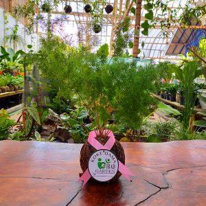 Tanaman hias KOKEDAMA Asparagus macowanii
