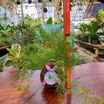 Tanaman hias KOKEDAMA Asparagus springeri