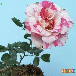 Tanaman hias Mawar bunga pelangi pink sutin UKURAN BESAR