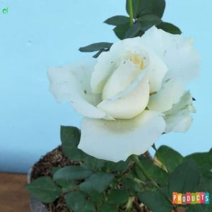 Tanaman hias Mawar bunga Putih UKURAN BESAR
