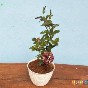 Tanaman hias Mawar bunga batik abra UKURAN BESAR