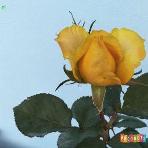 Tanaman hias Mawar bunga kuning mohana UKURAN BESAR