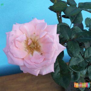 Tanaman hias Mawar bunga ungu UKURAN BESAR