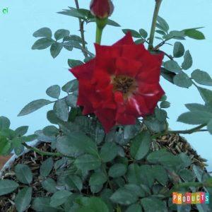 Tanaman hias Mawar Baby rambat warna merah UKURAN BESAR