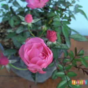 Tanaman hias Mawar Baby rambat warna pink UKURAN BESAR