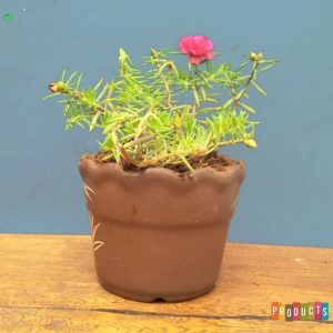 Tanaman hias Moss rose bunga ungu tumpuk mini