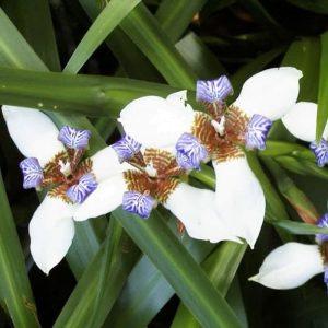 Tanaman hias Airis bunga biru putih