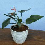 Tanaman hias Anthurium bunga pink kerdil