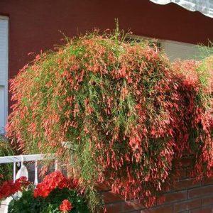 Tanaman hias Air mancur bunga merah