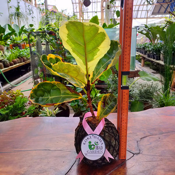 Tanaman hias KOKEDAMA Ficus lyrata variegata