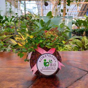 Tanaman hias KOKEDAMA Ficus pumila