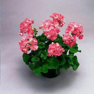 Tanaman hias Geranium bunga putih