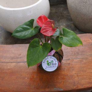 Tanaman hias KOKEDAMA bunga anthurium merah