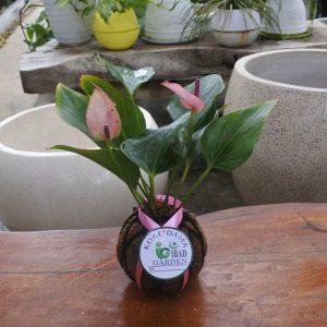 Tanaman hias Kokedama bunga anthurium ungu