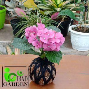 Tanaman hias KOKEDAMA hortensia always pink