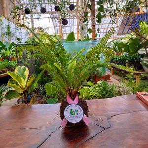 Tanaman hias KOKEDAMA Pakis kelabang-Nephrolepis Cordifolia