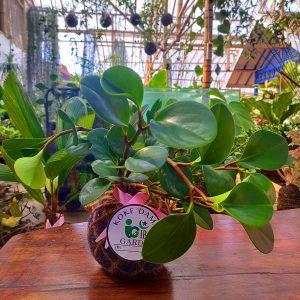 Tanaman hias KOKEDAMA Peperomia abtusifolia jade