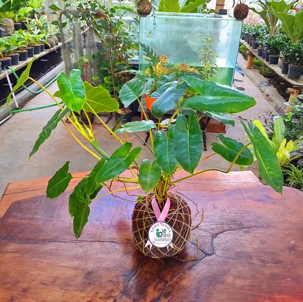 Tanaman hias KOKEDAMA Philodendron burle marx