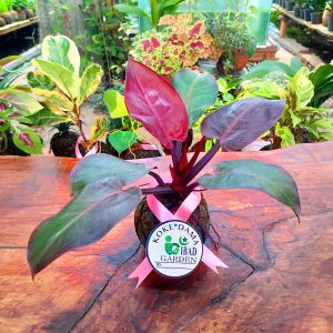Tanaman hias KOKEDAMA Philodendron imperial red cardinal