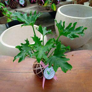 Tanaman hias KOKEDAMA Philodendron jari selloum
