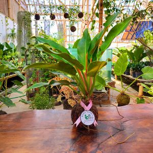 Tanaman hias KOKEDAMA Philodendron little phil