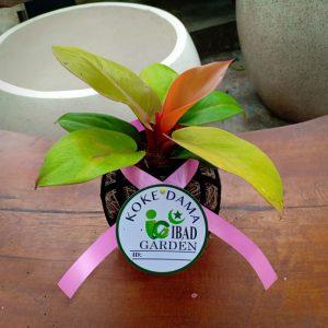 Tanaman hias KOKEDAMA Philodendron prince of orange
