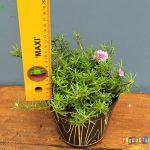 Tanaman hias Moss rose bunga batik ungu tumpuk mini