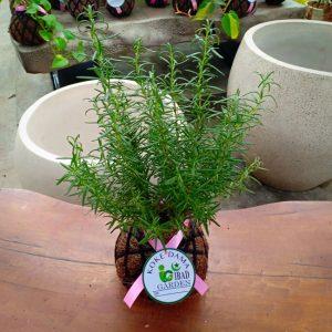 Tanaman hias KOKEDAMA Rosemary bunga ungu