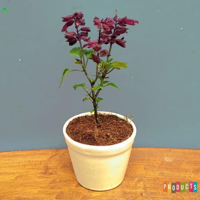 Tanaman hias Salvia bunga ungu