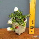 Tanaman hias Sutra bombay bunga putih besar