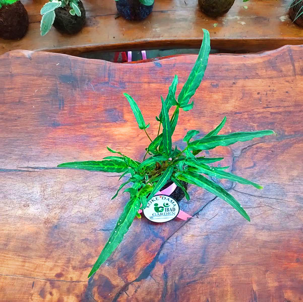 Tanaman hias KOKEDAMA Syngonium Trisula