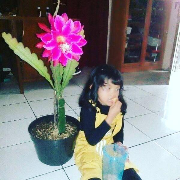 Tanaman hias Wijaya kusuma bangkok bunga ungu IMPORT