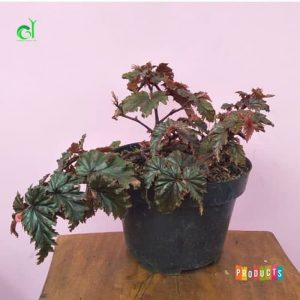 Tanaman hias Begonia spider