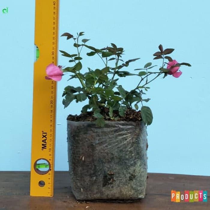 Tanaman hias Mawar Baby rambat bunga pink UKURAN BESAR