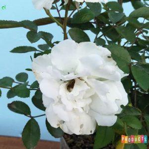 Tanaman hias Mawar Baby rambat bunga putih UKURAN BESAR