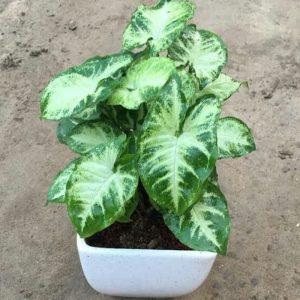 Tanaman hias Keladi mini daun putih