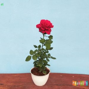 Tanaman hias Mawar bunga bunga merah sexy red UKURAN BESAR