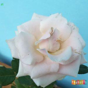 Tanaman hias Mawar bunga ungu muda UKURAN BESAR