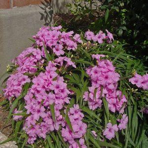 Tanaman hias Ruellia bunga pink