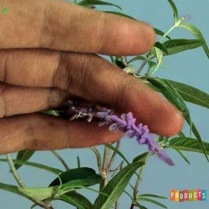 Tanaman hias Salvia bunga ungu holland