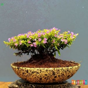 Tanaman hias Taiwan bunga ungu