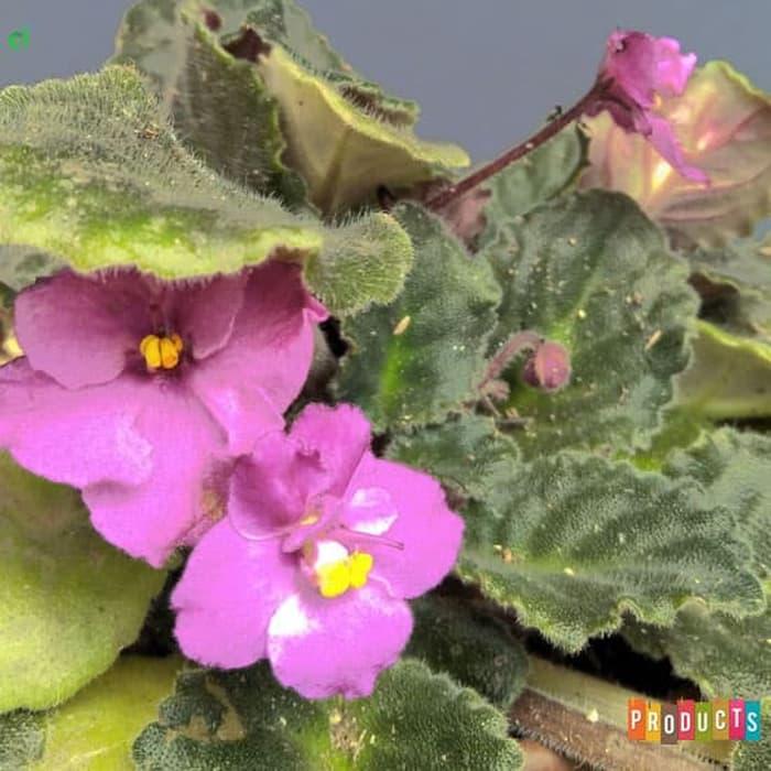 Tanaman hias Violces Bunga Pink