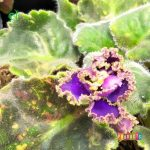 Tanaman hias Violces bunga biru tumpuk