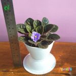 Tanaman hias Violces bunga ungu semu biru