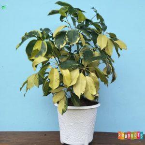 Tanaman hias Walisongo hybrid daun kuning