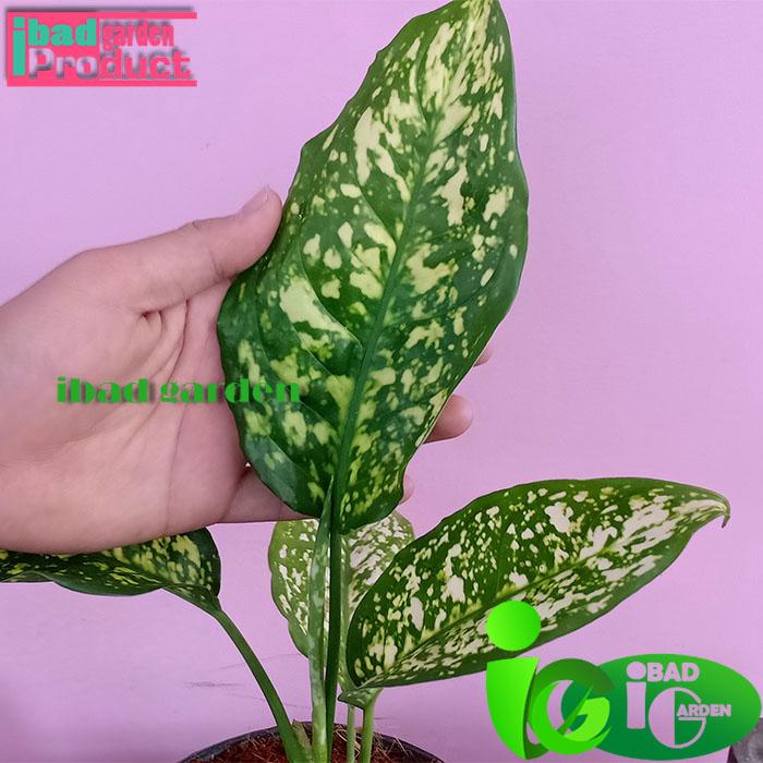 Tanaman hias Aglaonema costatum variegated