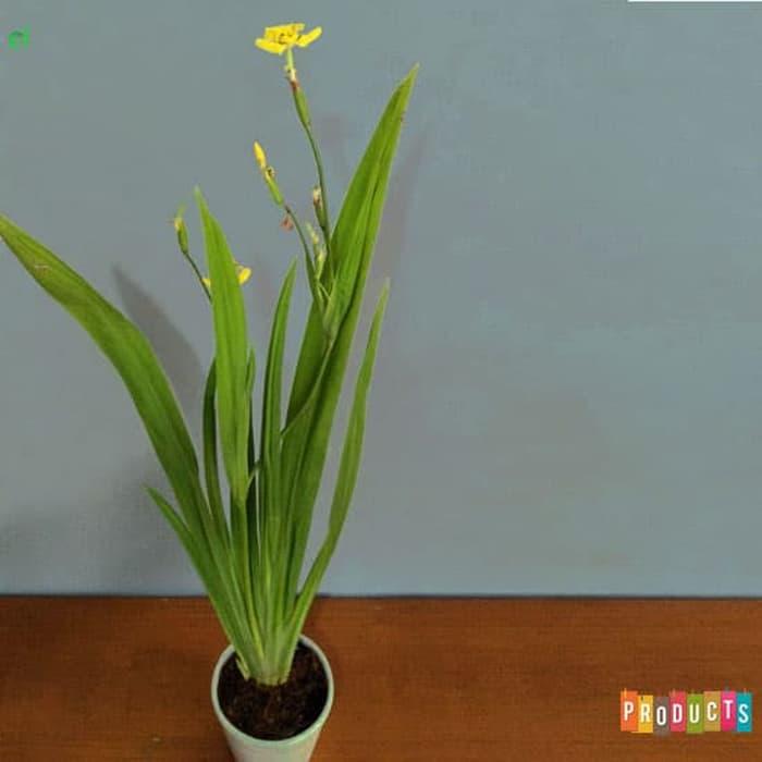 Tanaman hias Airis bunga kuning